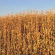 Stock Photo: Field maize