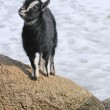 Stock Photo: Goat stay on stone