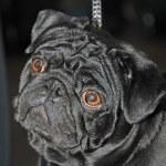 Portrait black funny dog — Stock Photo #8914846