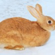 Pretty rabbit on snow — Stock Photo #8914921