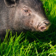 Swine on grass — Stock Photo