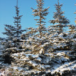 Beauty spruce — Stock Photo #8915269