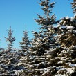 Pretty spruce — Stock Photo #8915275
