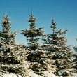 Stock Photo: Winter spruce under snow