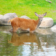 A fawn in the river near the waterfall — Foto de Stock