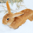 Nice rabbit on snow - Stok fotoğraf