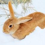 Nice rabbit on snow — Stock Photo #8915555