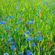 Stock Photo: Summer field from blue cornflowers and wheat