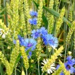 Cornflowers and camomiles and wheat in field — Stock Photo