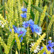 Stock Photo: Cornflowers and camomiles and wheat in field
