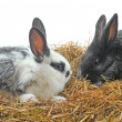 Pair pretty rabbits — Stock Photo