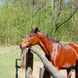 Stock Photo: Beautiful horse in paddock