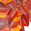 Heap of red leaves — Stock Photo
