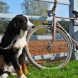 Big dog keep watch and warding the bike - Stock Photo