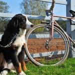 Big dog keep watch and warding the bike — Stock Photo