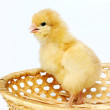 Small chicken in crib — Stock Photo