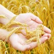 Golden ears wheat in hands — Stok fotoğraf