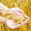 Golden ears wheat in hands — Stock Photo