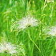 Three white dandelions in green background - Foto Stock