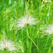 Three white dandelions in green background - Stock Photo