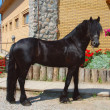 Frisian black horse - Stock Photo