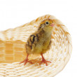 Chicken of quail in basket — Stock Photo