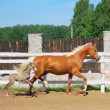Colt and mare equine — Stock Photo #8916456