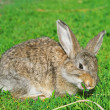 Fluffy rabbit nibble the green grass — Stock Photo