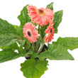 Stock Photo: Three pink gerberas with green leafs