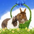 Rabbits in basket on blue sky background — Stock Photo #8916809