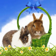 Rabbits in basket on blue sky background — Stock Photo