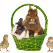 Rabbits in green basket and chickens — Stock Photo