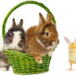 Rabbits in green basket and pretty chickens - Stock Photo