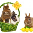 Rabbits in green basket and rabbit with tulips — Stock Photo