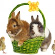 Rabbits in green basket with bow and chickens — Stock Photo