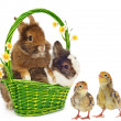 Rabbits with yellow flowers and chickens — Stock Photo #8916861