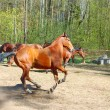 Stock Photo: Running horse in paddock
