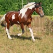 Stock Photo: Skewbald horse running trot