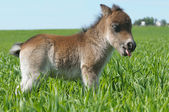 Foal pony show one's tongue — Stockfoto