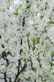 Branch of white flowering tree — Stock Photo