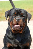Portrait of a beautiful rottweiler — Stock Photo