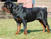 Beautiful purebred rottweiler — Stock Photo