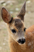 Portrait of a young dappled deer — Stock Photo