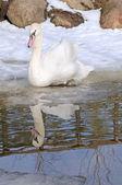 Um cisne de natação — Foto Stock