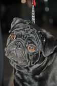 Portrait black funny dog — Photo