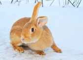 Nice bunny on snow — Stock Photo