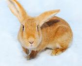 在雪上的漂亮小兔子 — 图库照片