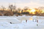 Couple swan — Stock Photo
