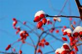 Few berry of dog-rose — Stock Photo