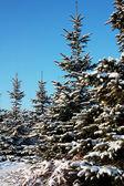 Pretty spruce — Stock Photo